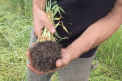 Anthony showing the fine aggregates left by the rye grass