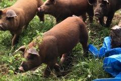 Kaitlin.pigs1_