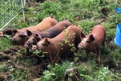 Kaitlin.pigs2_