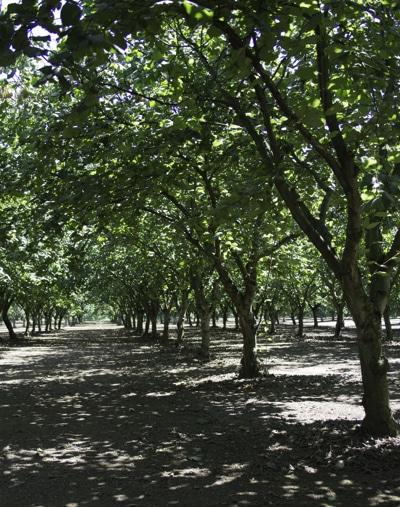 Hazelnuts. (1 of 1)