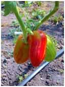Tomatoes 4
