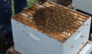 bees on hive box