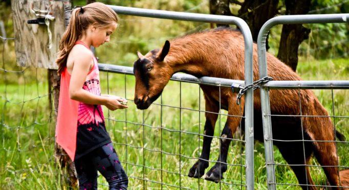 girl feeding goat on the farm