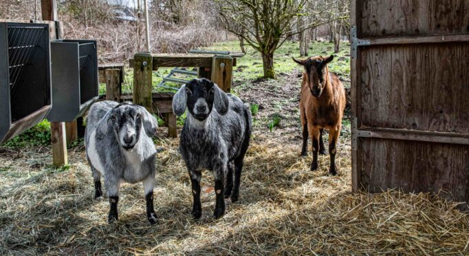Goats at the 21 Acres farm help regenerative farm practices by eating invasive species and restoring the soil.