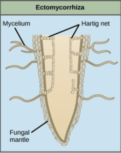 Diagram of how fungi attach to roots to fix nitrogen.