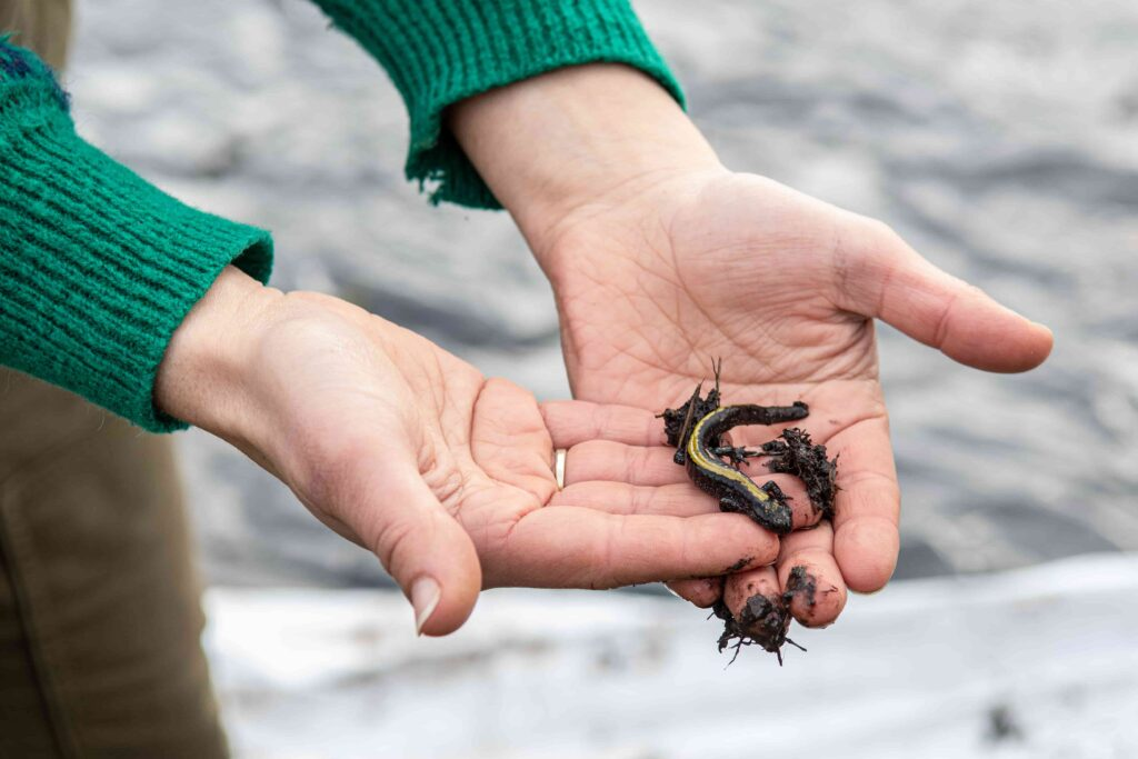 A salamander in the 21 Acres wetlands provides ecosystem services.