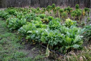 Collards and other greens on the 21 Acres farm in the spring of 2021.