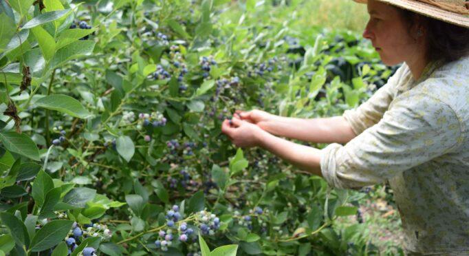 Alexia Allen of Hawthorn Farm harvests berries in her homestead garden.