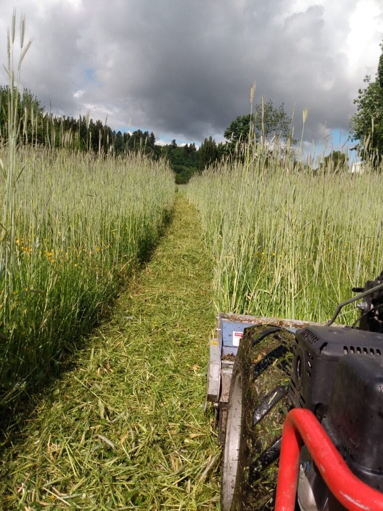 Using the BCS low-till tractor, farmers at 21 Acres mow down and turn in the rye cover crop.