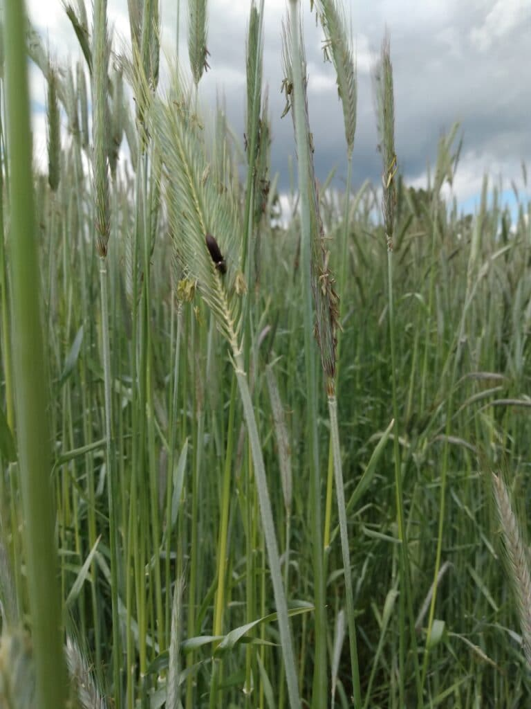 Cover crops stand over 7 feet tall at the 21 Acres farm.