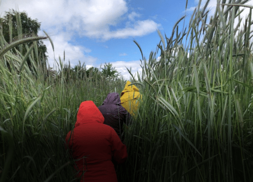 21 Acres staff in bright red and yellow raincoats push through seven-foot-tall stands of rye cover crop while learning about the value of cover crops.
